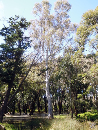 only eucalyptus in the forest