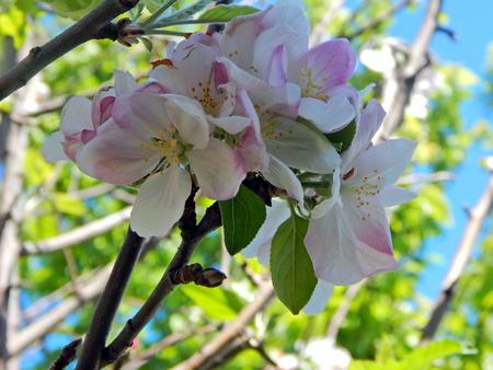 apple blossom Imagens