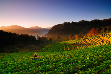 Farmers are harvesting. In the beautiful morning atmosphere. In the Ang Khang valley in northern Thailand. Standard-Bild