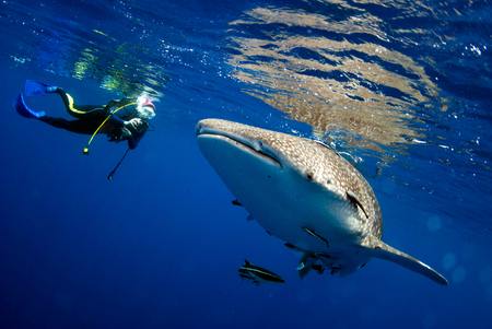 Surprised divers with whale sharks. Stock Photo