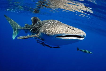 El tiburón ballena es un pez grande en el mar.