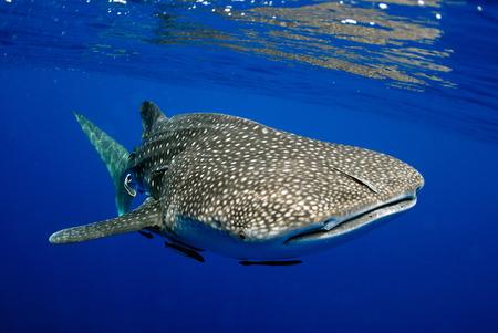 Tiburón ballena gigante de mar.