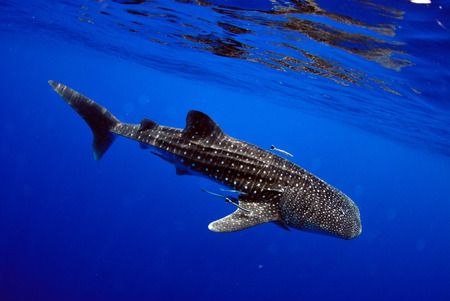 Giant sea whale shark Exciting for divers. Stok Fotoğraf - 111359144