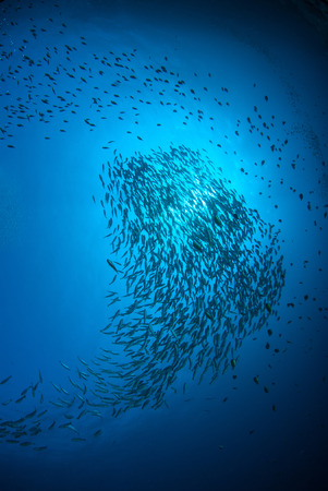 Fish herd Under the blue sea. Stok Fotoğraf