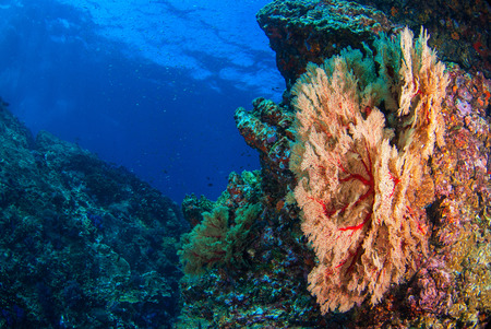 Seafan at reef under blue sea. Standard-Bild
