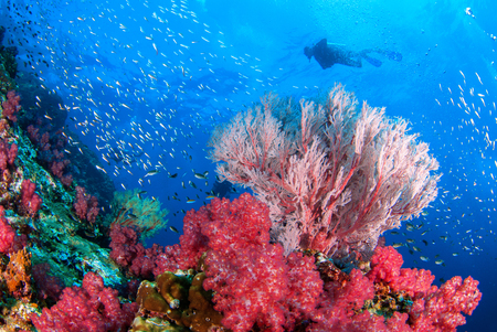 Wonderful underwater world with seafan and vibrant colors of corals and Scuba Diver backdrop, Scubadiving Underwater seascape concept.