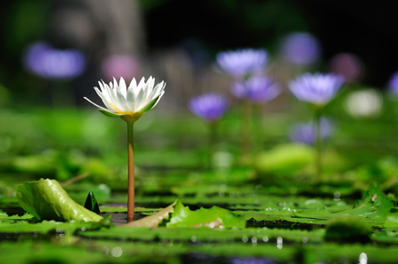 White lotus in a beautiful Bokeh background.