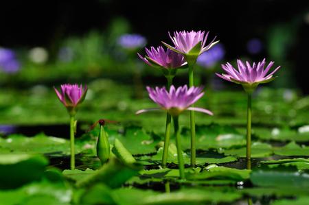 Purple lotus has beautiful visual elements, Beautiful backdrop. Stok Fotoğraf - 111359249