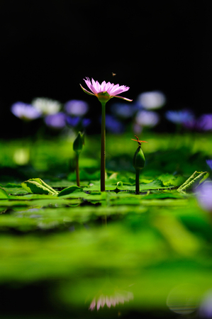 Purple lotus and dragonfly Beautiful visual elements Beautiful backdrop. Stok Fotoğraf