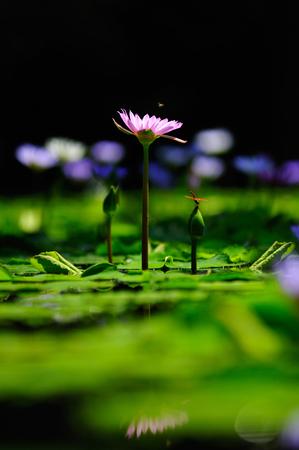 Purple lotus and dragonfly Beautiful visual elements Beautiful backdrop. Standard-Bild