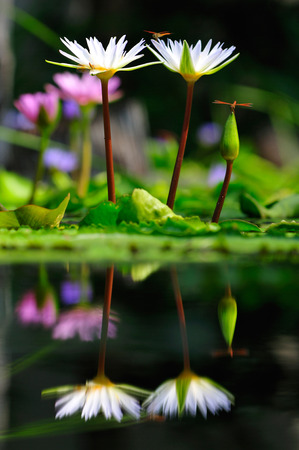 White lotus and dragonfly Beautiful visual elements reflect beautiful backdrop. Stok Fotoğraf - 111359254