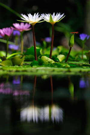 White lotus and dragonfly Beautiful visual elements Beautiful backdrop. Stok Fotoğraf - 111359255