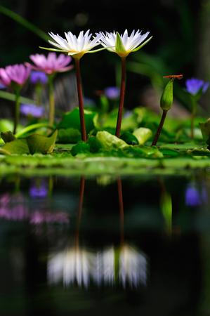 White lotus and dragonfly Beautiful visual elements Beautiful backdrop. Standard-Bild