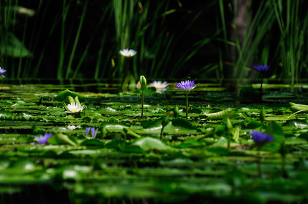 The lotus pond has beautiful visual elements reflecting a beautiful backdrop. Stok Fotoğraf
