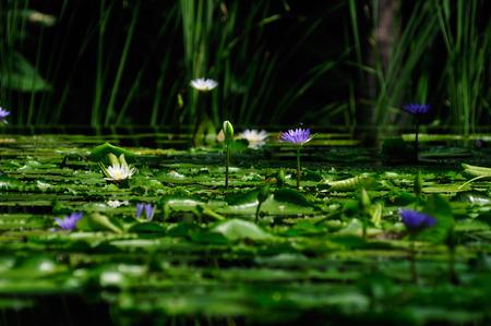 The lotus pond has beautiful visual elements reflecting a beautiful backdrop. Stok Fotoğraf - 111359256