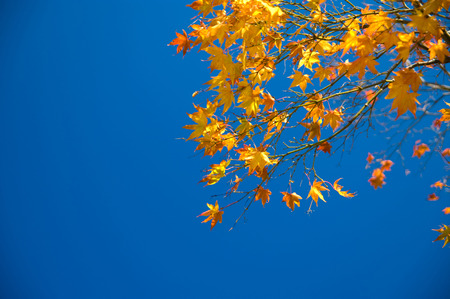 Maple leaf colurful in the clear sky.