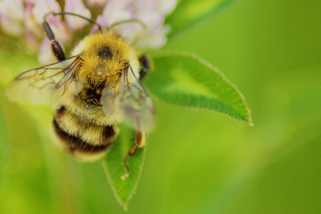 Bee gathering pollen in a clover in bloom. Stock Photo - 7985193
