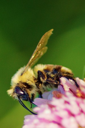 Bee gathering pollen in a clover in bloom. Stock Photo - 7985191
