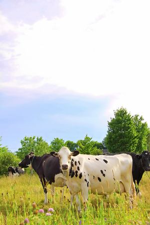 holsteine: Curious white cow with his friends in a colorfull field with trees in the background.
