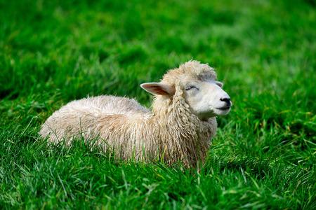 lullaby: Lamb Lullaby. Pyeongchang Daegwallyeong Pasture in south korea.