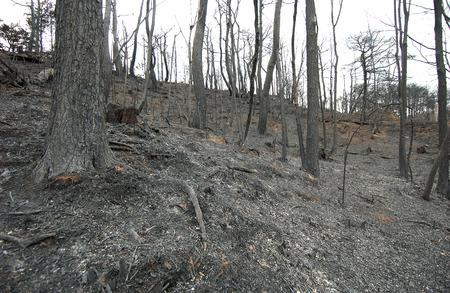 forest fire: �rboles quemados despu�s de un incendio forestal