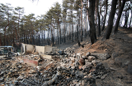 forest fire: Burnt trees after a forest fire