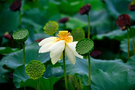 nelumbo: lotus flower. Nelumbo nucifera