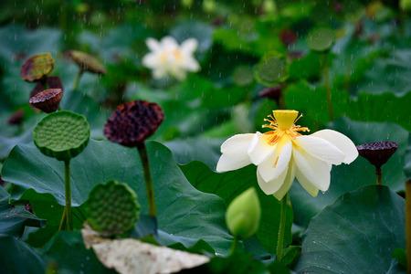 nucifera: flor de loto. Nelumbo nucifera