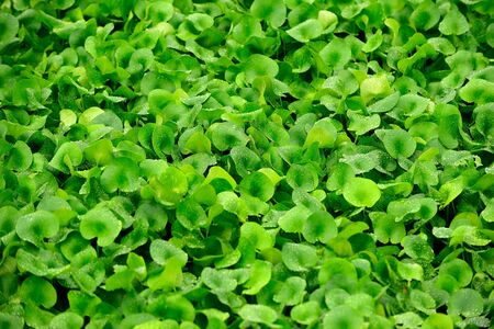 hydrophyte: water hyacinth