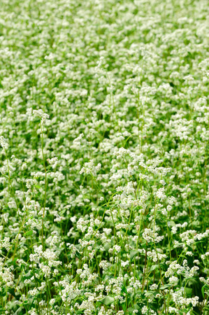 buckwheat: Buckwheat, Buckwheat flowers Stock Photo