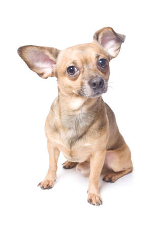 Funny dog with a bent ear isolated over white photo