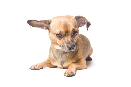 Confused dog with a bent ear isolated over white photo