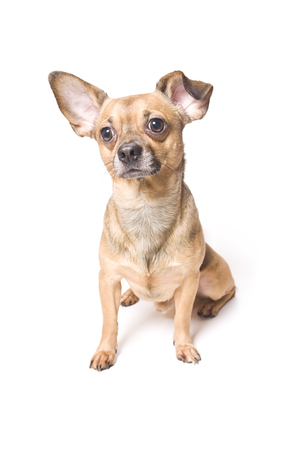 Funny dog with a bent ear isolated over white Stock Photo