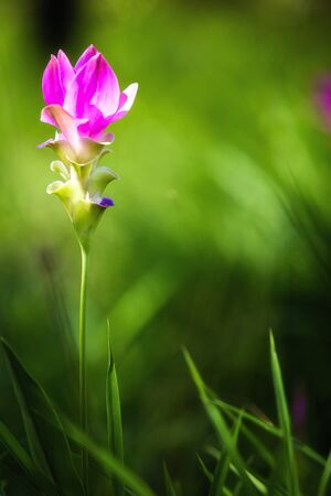 The beauty of magenta siam tulip on green meadow background.