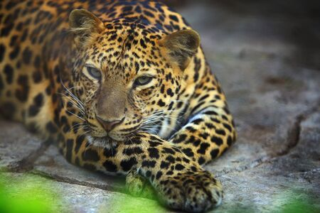 Portrait of Adult Female Leopard is resting selective focus