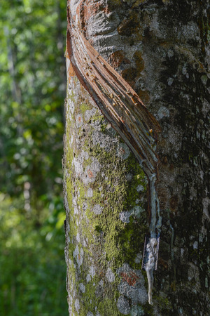 sap: The latex sap from rubber, milk of rubber tree