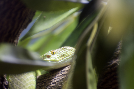 viper: the eye of viper snake on the tree Stock Photo