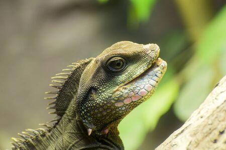 viviparous lizard: Closeup of lizard head