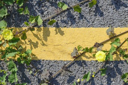 creeping plant: asphalt road and yellow strip with the creeping plant