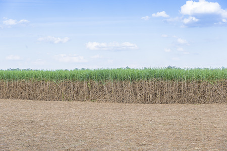 sugar land: wide angle scene of the sugarcane field with the sky