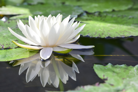 reflective: the white lotus or water lilies reflective with the water like the mirror in the pond