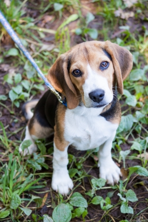 obedient: Walking a very obedient and loyal beagle at the park  Stock Photo