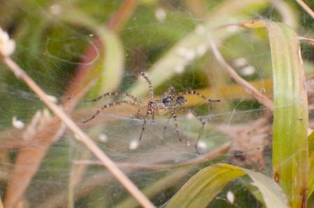 xysticus: Spider Forest
