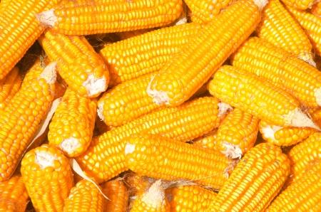 cob: Many corn