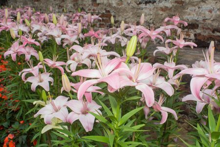 A lot of pink lilies In the park. Stock Photo