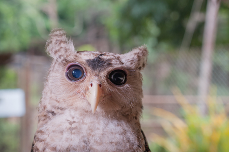 The young owl face Closer.