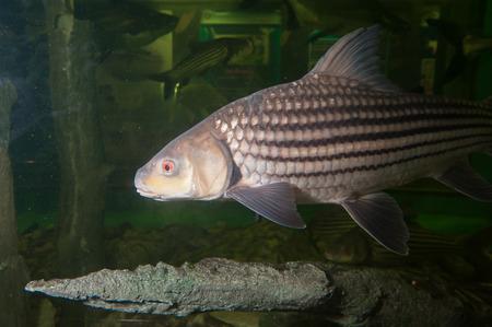 Les animaux exotiques, des monstres poissons dans l'aquarium. Banque d'images - 76409593