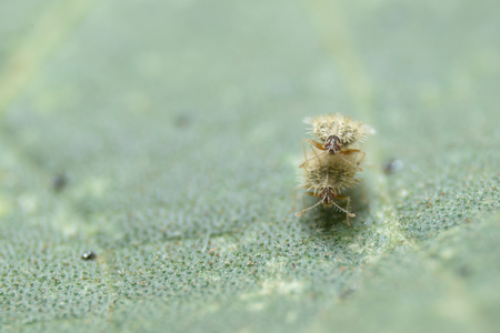 Natural backdrop.Macro image of a Insect lovers on a green leaf Stock Photo