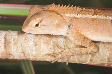 Yellow-orange chameleon head, macro distance, Reptiles exotic backdrop.