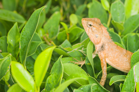 Yellow-orange chameleon, macro distance, Reptiles exotic backdrop.